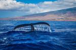 В Шотландии можно наблюдать за китами по специально созданному маршруту