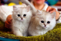 Pogostite.ru - Выставка кошек «День влюбленных котов» 2016