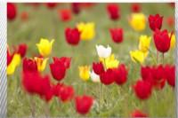 Pogostite.ru - Калмыкия – страна тюльпанов
