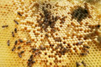 Pogostite.ru - Алтайский мед – музейная ценность