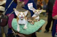 Pogostite.ru - Грандиозная выставка кошек «КоШарики Шоу Зима 2019»